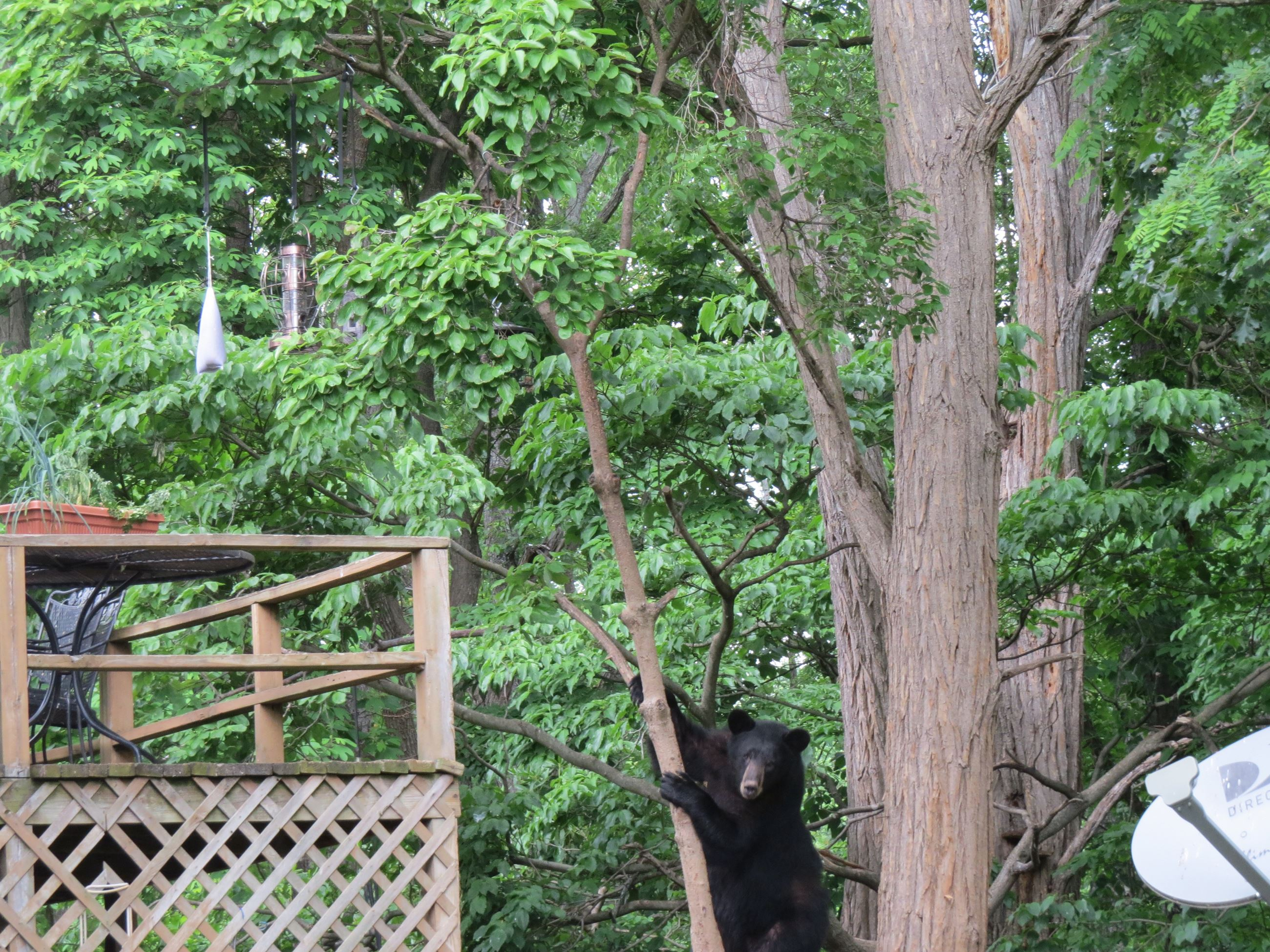Photo of a black bear at bird feeders