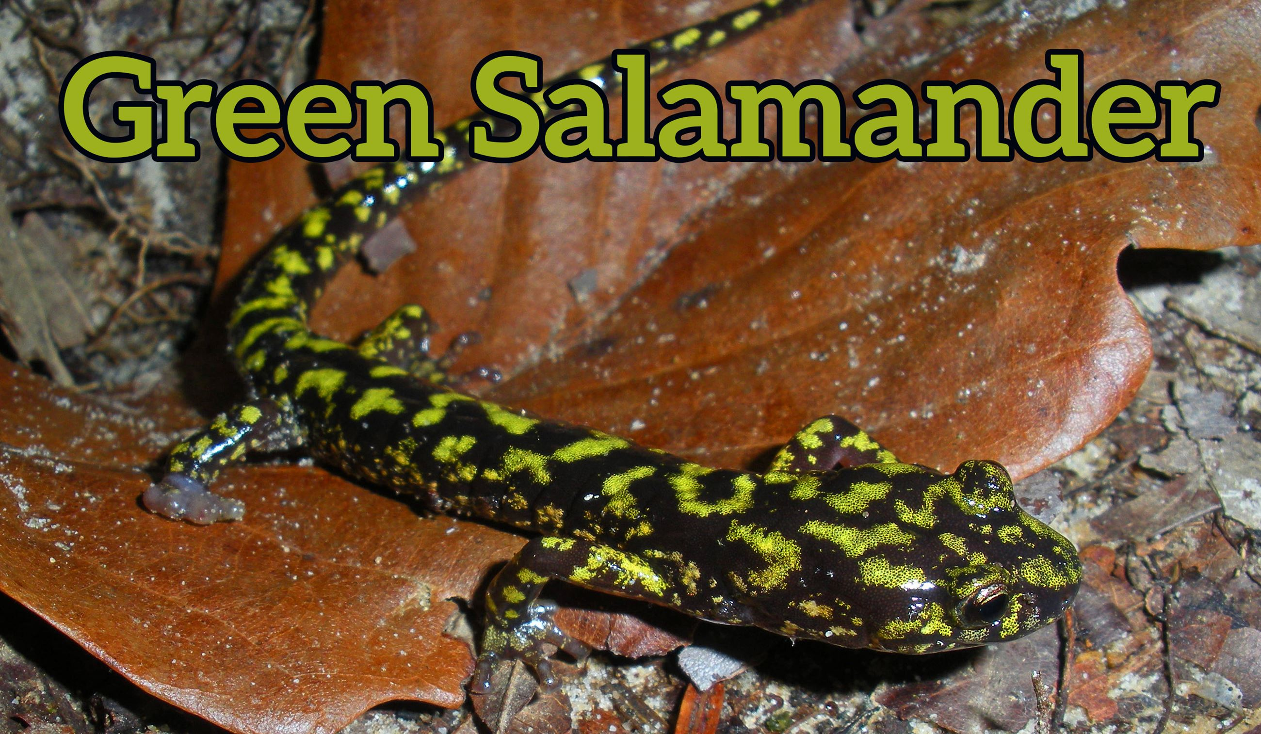 Photo of a green salamander