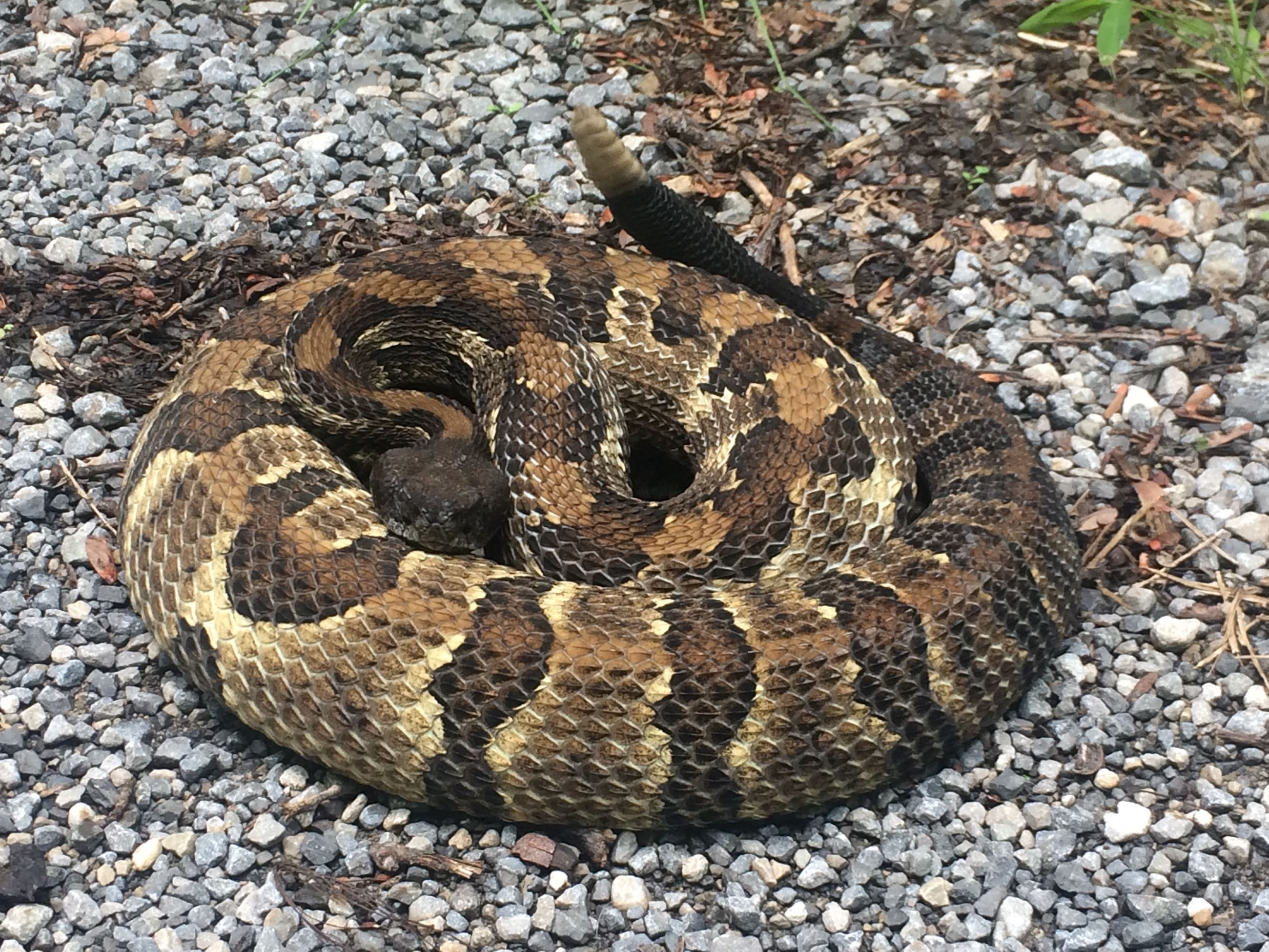 Photo fo a Timber Rattlesnake
